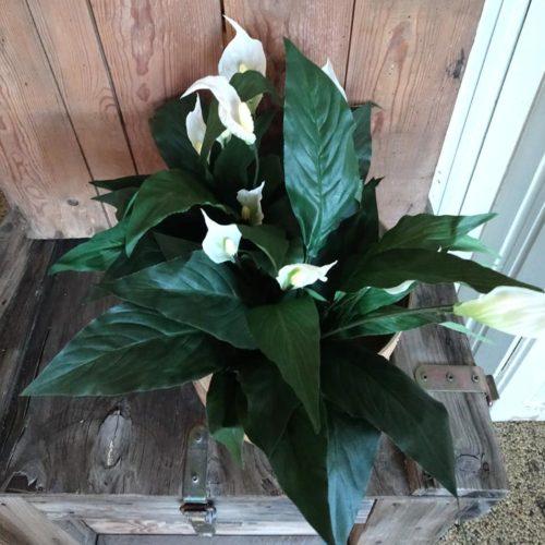 Fredslilje med smukke hvide blomster
