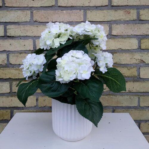 Hortensia 5-grenet hvid