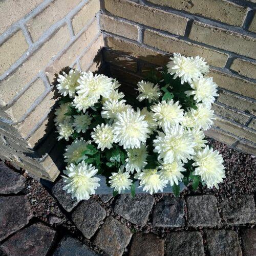 Chrysantemum hvid i potte