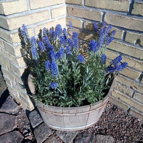 Lavendel smukke blå