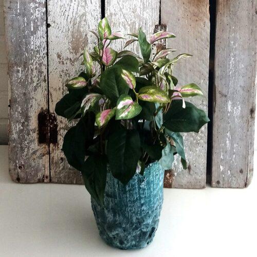 Hoya Tricolor naturtro plante