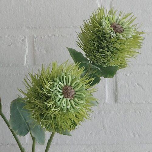 Protea stilk med stort hoved