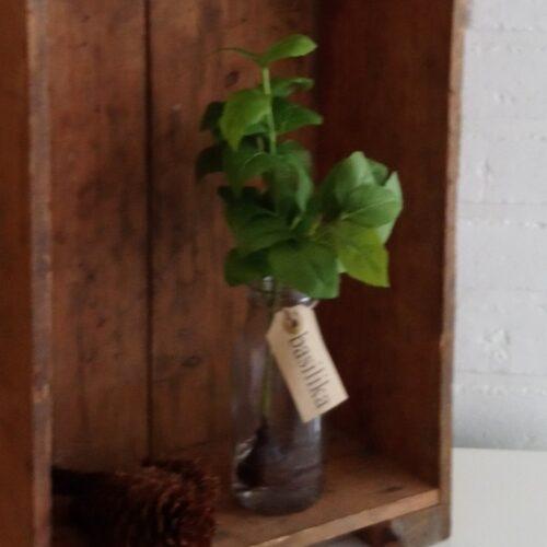 Krydderurt i flaske, Basilikum