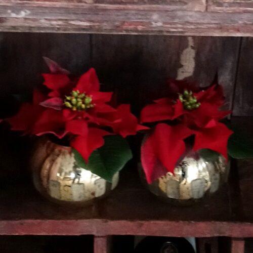 Skønne røde julestjerner