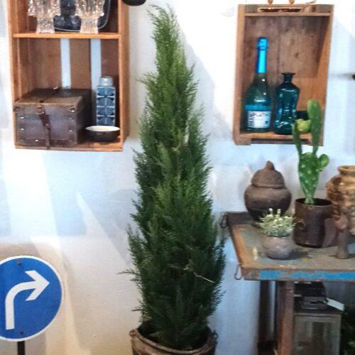Flot stort Cypres træ