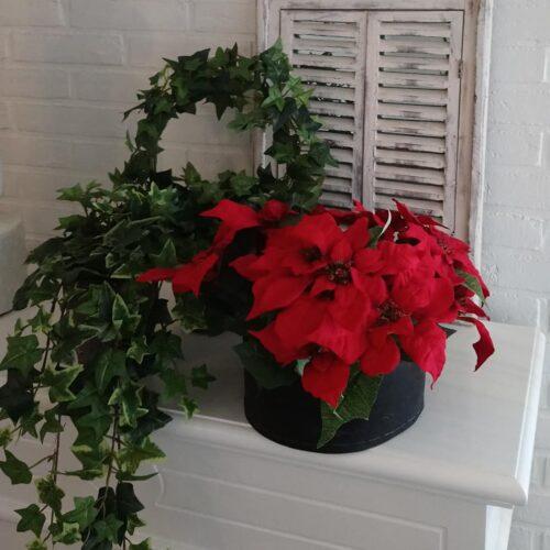 Skønne store røde julestjerner
