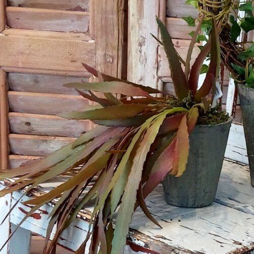 Flot stor Rhipsalis plante