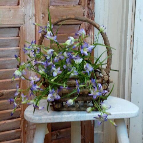 Campanula lys lilla Krybeklokke