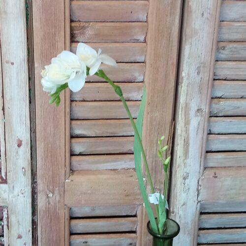 Fresia hvid smuk blomst