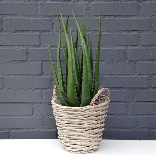 Aloe Vera stor kraftig plante