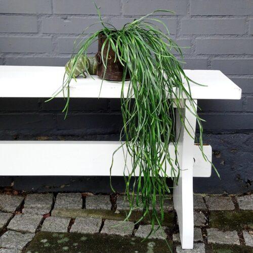 Hoya flot hængeplante