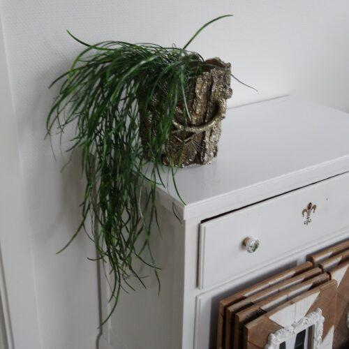 Hoya med lange grene