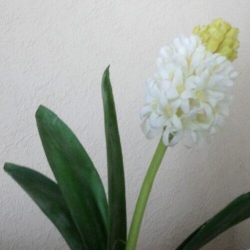 Hyacint hvid udsprunget
