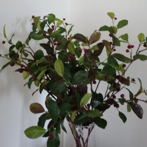 Gaultheria Bjergte