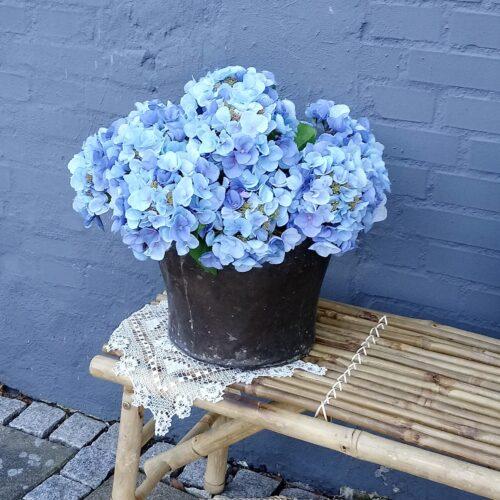 Hortensia lyseblå