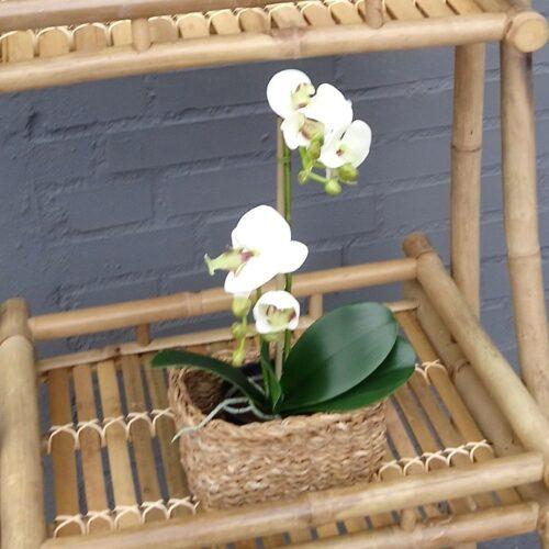 Orkide hvid/lys lime 2-grenet