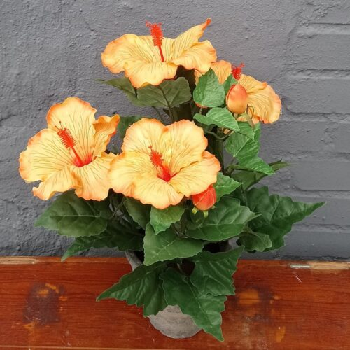 Hibiscus orange i potte