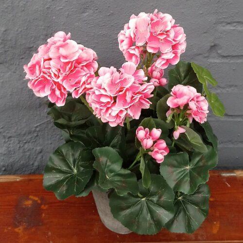 Pelargonie rosa i potte