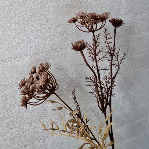 Trachelium brun flergrenet stilk